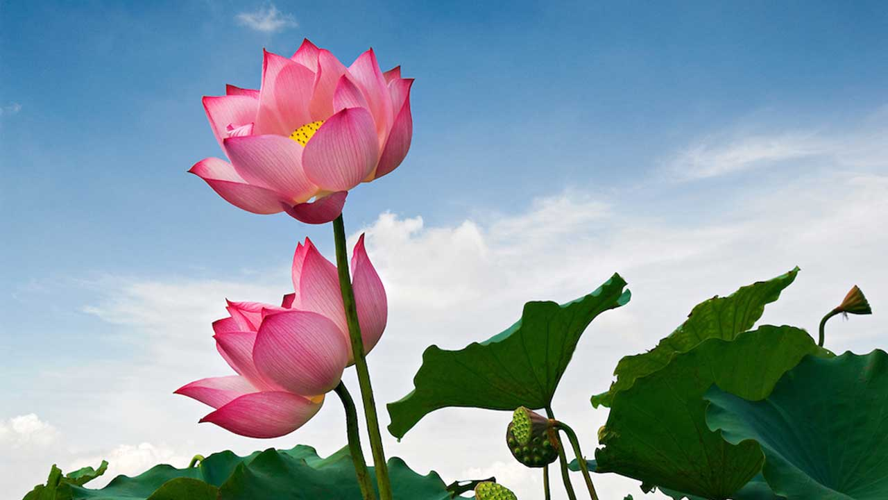 Lotus-Flower---laguna-lang-co