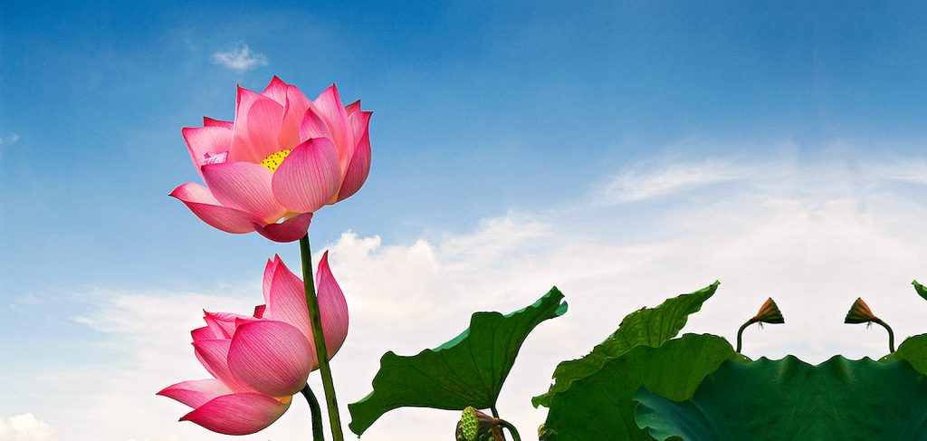 Laguna lng c lotus flowers lotus flower mightylinksfo