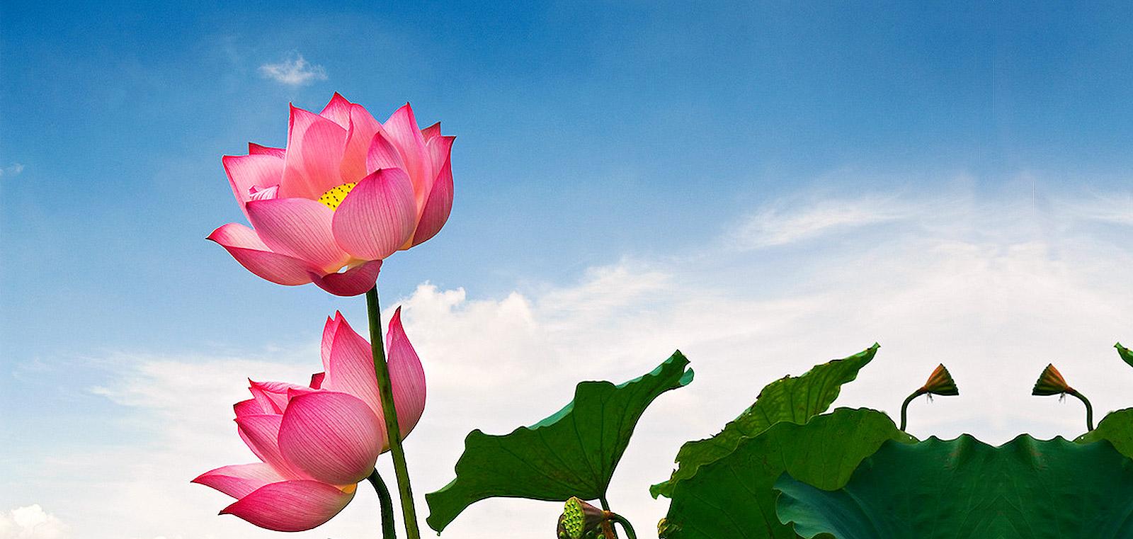 Laguna lng c lotus flowers lotus flowers mightylinksfo Images